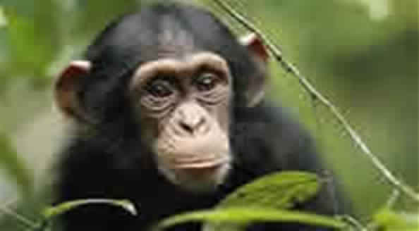Chimps-Gorila-Safari