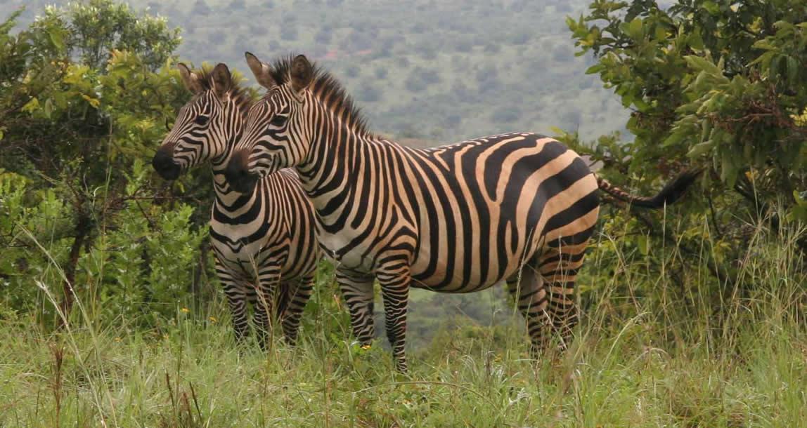 akagera-national-park-zebra