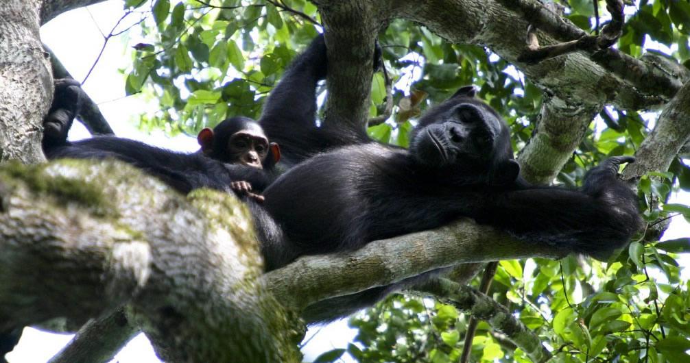 chimps-kibale-forest