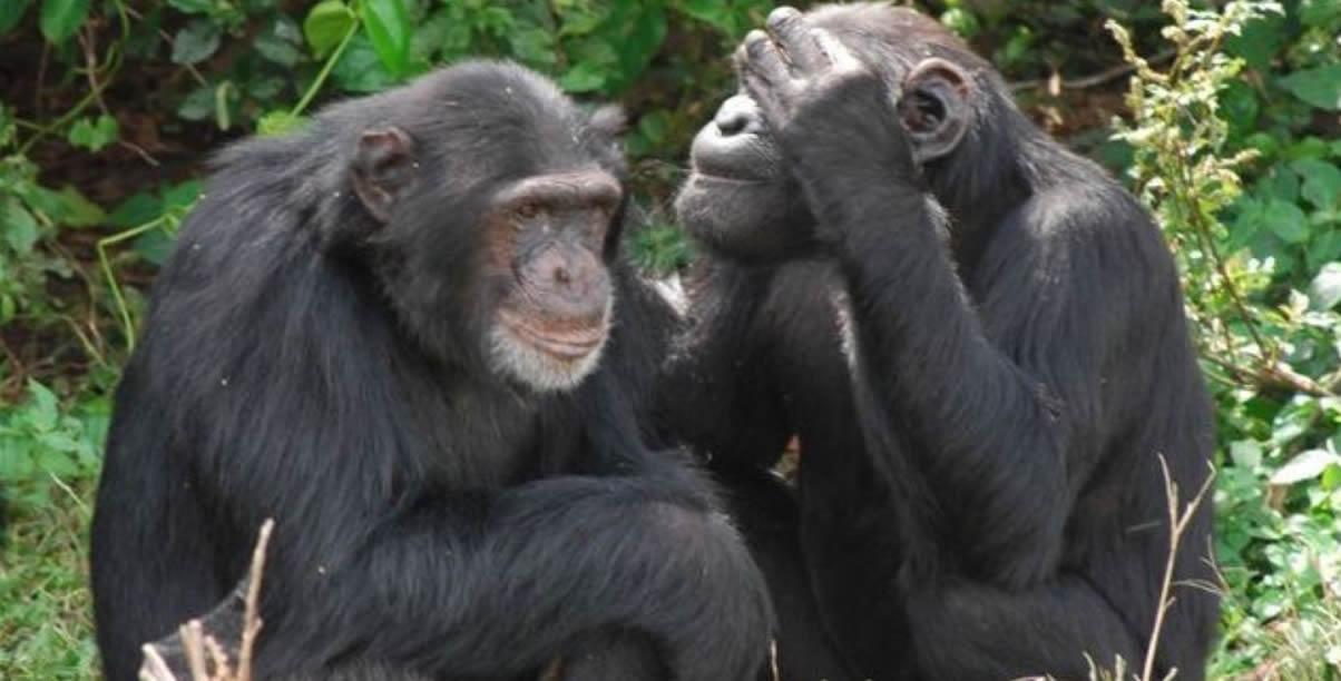 chimps-ngamba-island