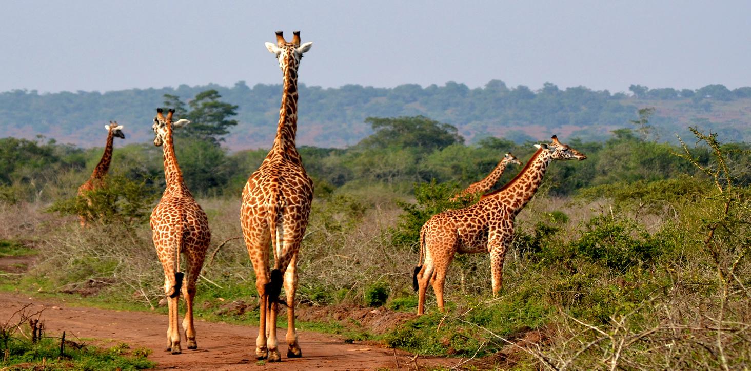 giraffe-akagera-park