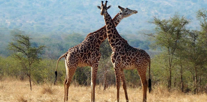 giraffe-rwanda
