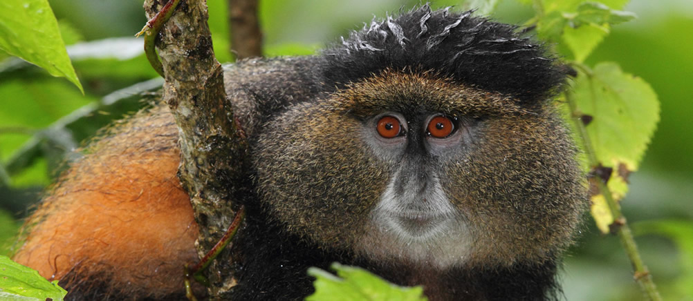 golden-monkey-visit