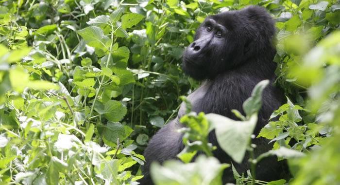 gorilla-safari-bwindi