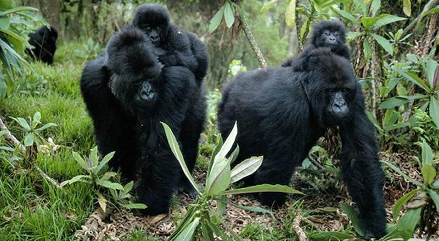 gorillas-move