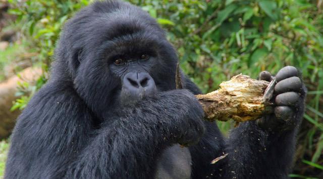 rwanda-Gorila-Safari