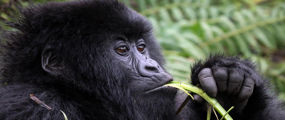 rwanda-mountain-gorilla