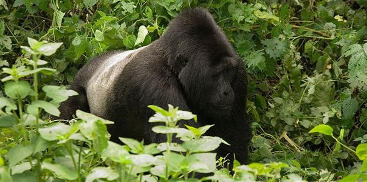 sliverback-gorilla-rwanda