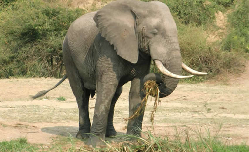 uganda-elephant