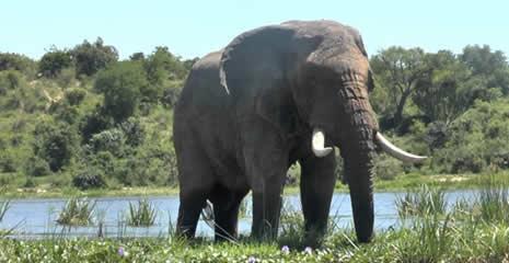 elephant-murchison-falls