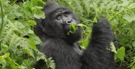 gorilla bwindi forest