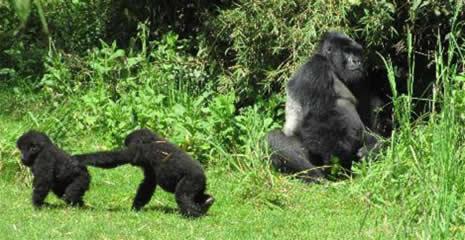 gorilla volcanoes rwanda