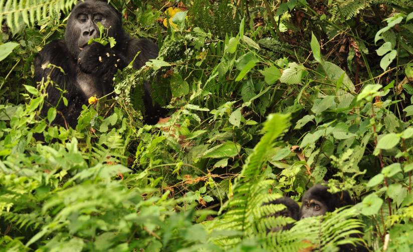 uganda-gorilla-tour