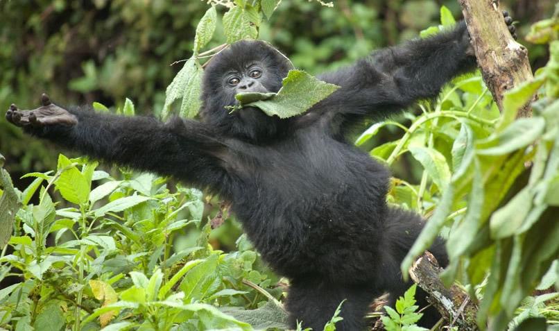 gorilla-baby-tree