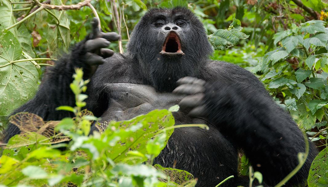 uganda-mountain-gorillas