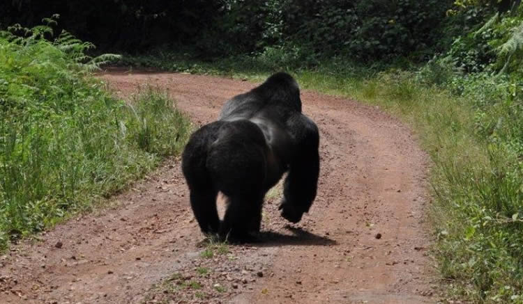 uganda-mountain-gorilla-tours