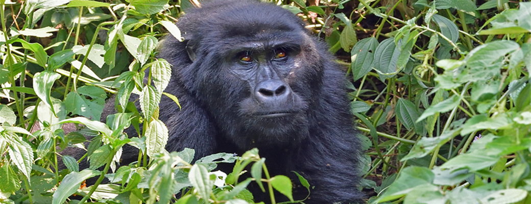 gorilla-trips