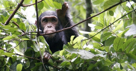 nyungwe-forest-chimps